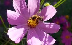 rovar méh pillangóvirág