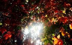 Ősz, napsütés, vadszőlő