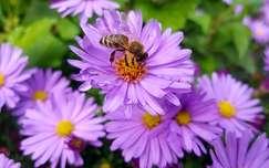 rovar méh őszirózsa