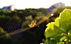 pókháló pók