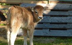 állatkölyök borjú háziállat szarvasmarha