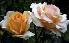 rózsa, kerti virág, magyarország