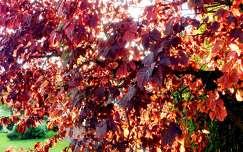 ősz, napfény, levelek, magyarország