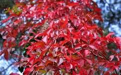 Vadszőlő, ősz