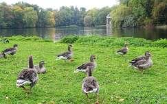 vizimadár tó ősz lúd