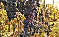 ősz gyümölcs szőlőültetvény szőlő