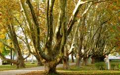 ősz, Platánsor, Balatonalmádi, Öreg park, magyarország