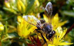 méh, virág, rovar, magyarország