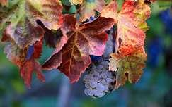 levél ősz gyümölcs szőlő
