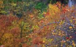 színes gyümölcs csipkebogyó ősz