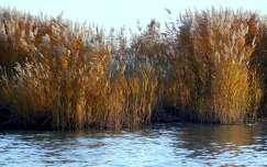 ősz, nádas, magyarország