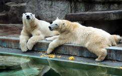 Jegesmedvék az Állatkertben