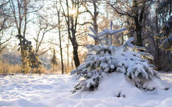 tél fény fenyő