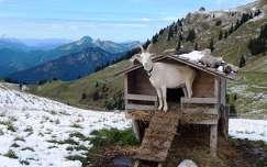 hegy háziállat tél kecske