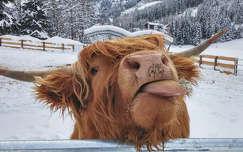 háziállat tél szarvasmarha