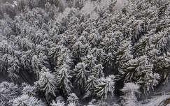 tél örökzöld fenyő erdő
