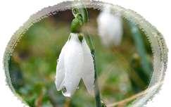 vízcsepp vadvirág hóvirág