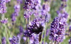 Méhecske. Fotó: Csonki