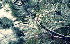 örökzöld tél fenyő