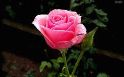 rózsa, magyarország