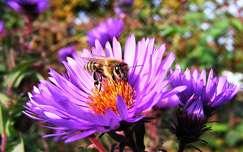 rovar méh