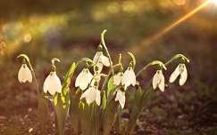 tavaszi virág vadvirág tavasz hóvirág fény