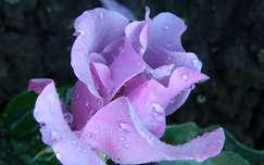 Rose Blueberry Nyp