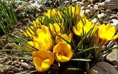 tavasz, sárga krókusz, magyarország