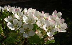 Körtefa virág