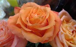 Rózsa.Fotó: Csonki