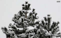 fenyő, hó, magyarország