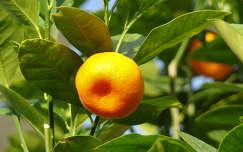 mandarin fa