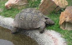 Dél-Afrika teknősbéka