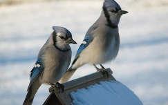 Kék szajkópár (Mátyás madarak)
