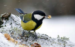tél széncinege madár havazás cinege