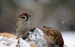 havazás madár tél veréb