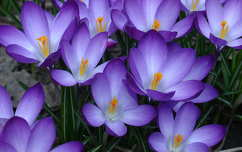 tavaszi virág krókusz tavasz