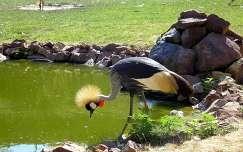 Veszprémi állatkert, koronás daru