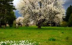 tavasz, nárcisz, cseresznyefa, Rédics, Zala megye, virágzó fa