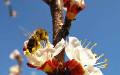 méh, tavasz, barackvirág, zümi, napsütés