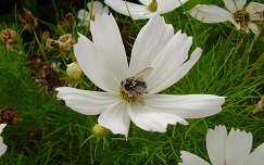 rovar pillangóvirág méh