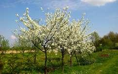 tavasz, virág, gyümölcsfa