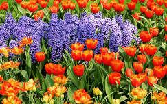 Tavaszi virágok, tulipánok és jácintok