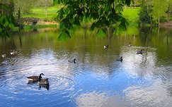 kertek és parkok tó tavasz lúd vizimadár tükröződés