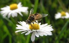 méh százszorszép rovar
