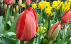 Tulipánok és nárciszok