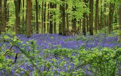 Harangvirágok a tavaszi erdőben