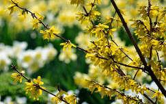 tavaszi virág tavasz aranyeső