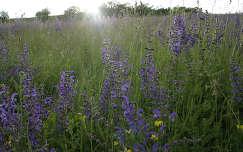 fény vadvirág virágmező zsálya