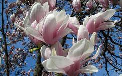 magnólia,tulipánfa